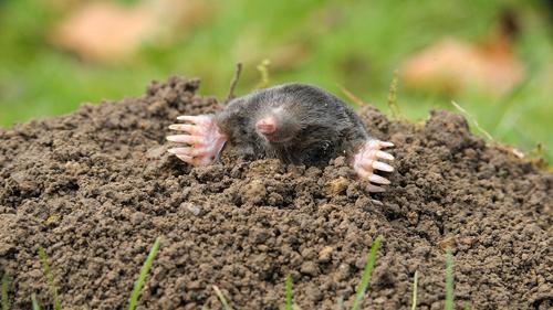 menu-moles