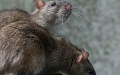 rodents-2